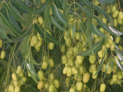 neem oil chemical composition