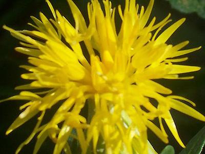 Image Result For Uses Of Safflower Oil